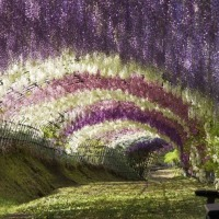 Must see: Ashikaga flower park enchants visitors with amazing wisteria vine grove