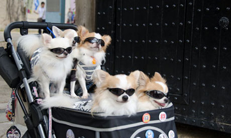 Japan's pampered pet dogs